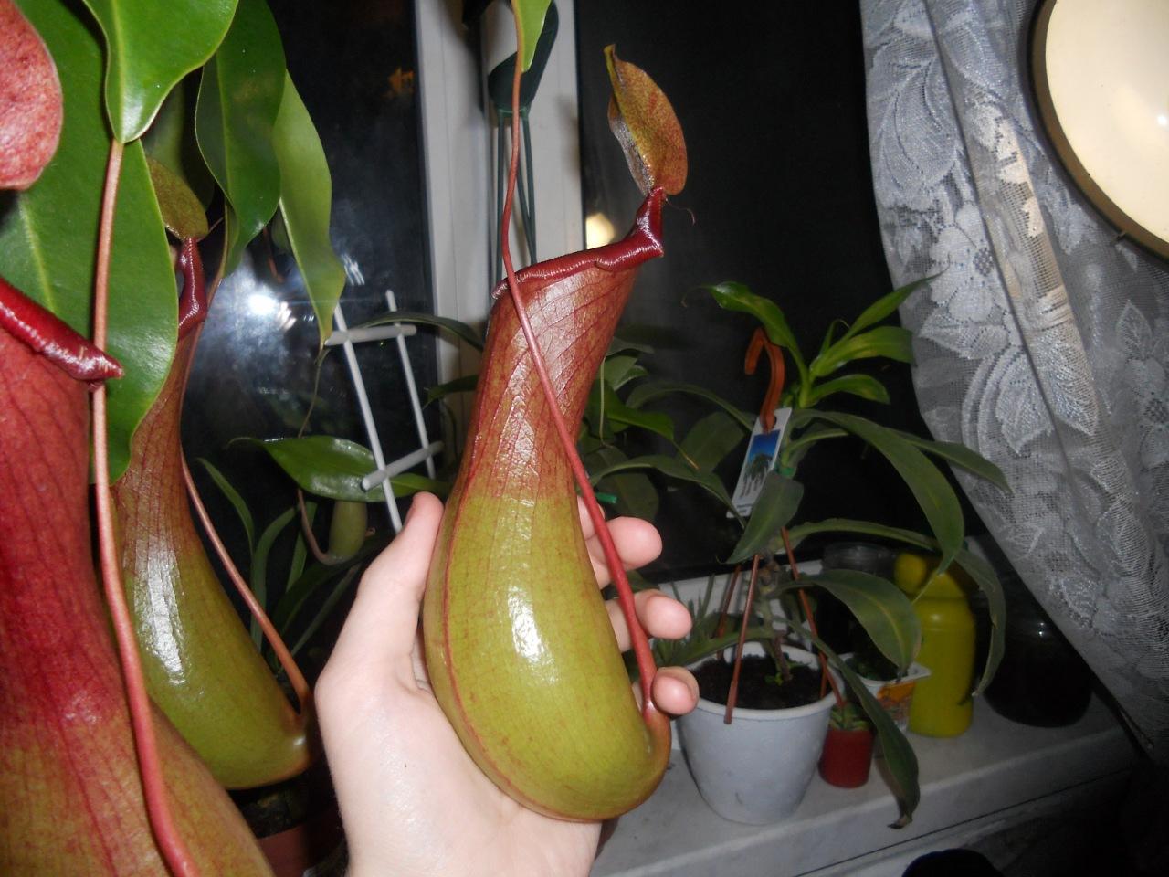Насекомоядные растения в домашних условиях фото