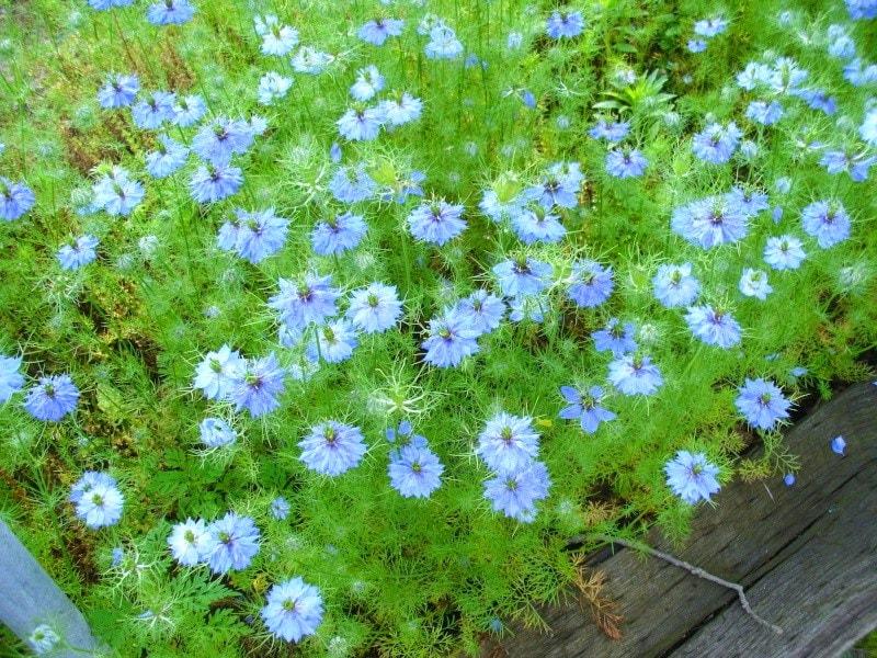 Цветок нигелла: посадка и уход в открытом грунте: фото