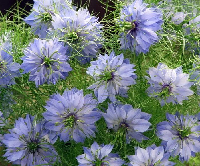 Нигелла альбина выращивание из семян 57