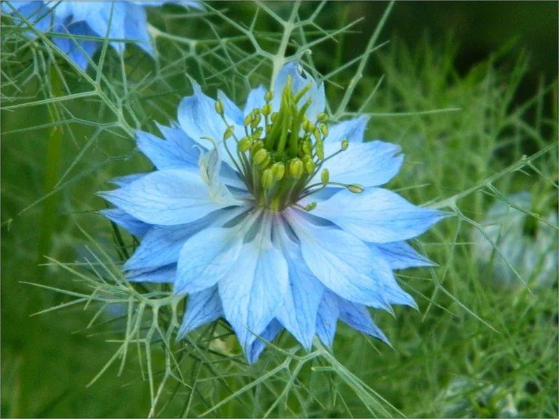 Нигелла альбина выращивание из семян 8