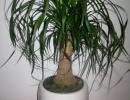 Пальма нолина