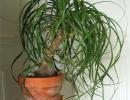 Растение нолина
