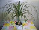 Домашний цветок нолина