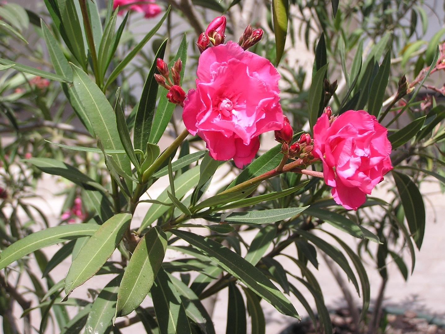 Какие цветы растут в турции фото