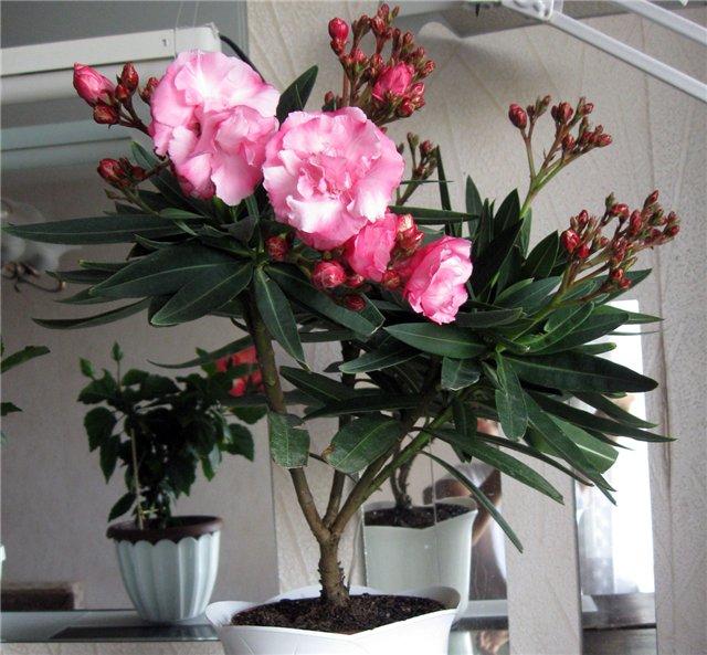 Олеандр выращивание и уход в домашних условиях  394