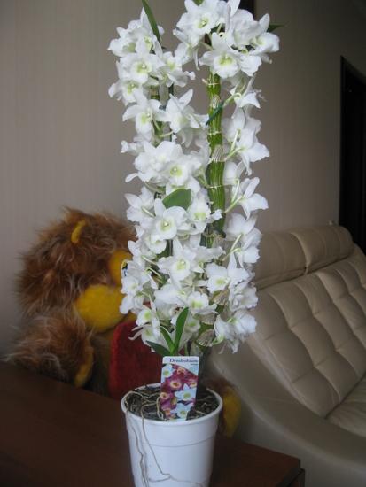 Орхидея дендробиум и фаленопсис уход в домашних условиях 23