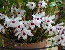 Дендробиум монилиформе (Dendrobium moniliforme)