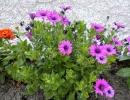 Растение остеоспермум в саду