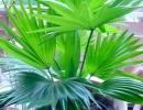 Пальма ливистона