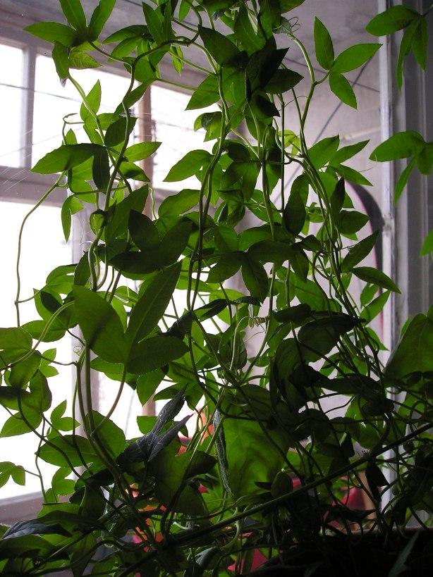 Пассифлора – уход в домашних условиях