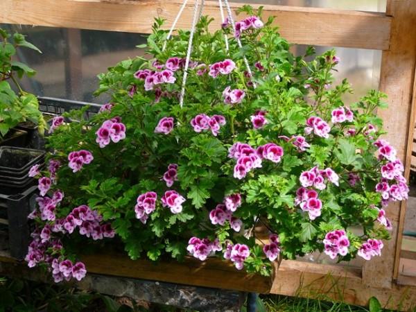 Уход и выращивание ампельных гераней