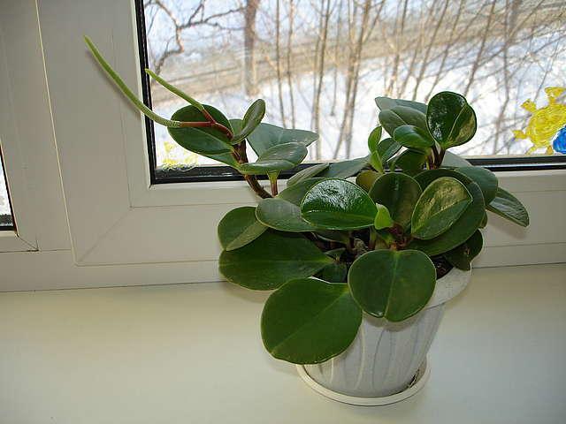 Комнатные цветы пеперомия уход в домашних условиях
