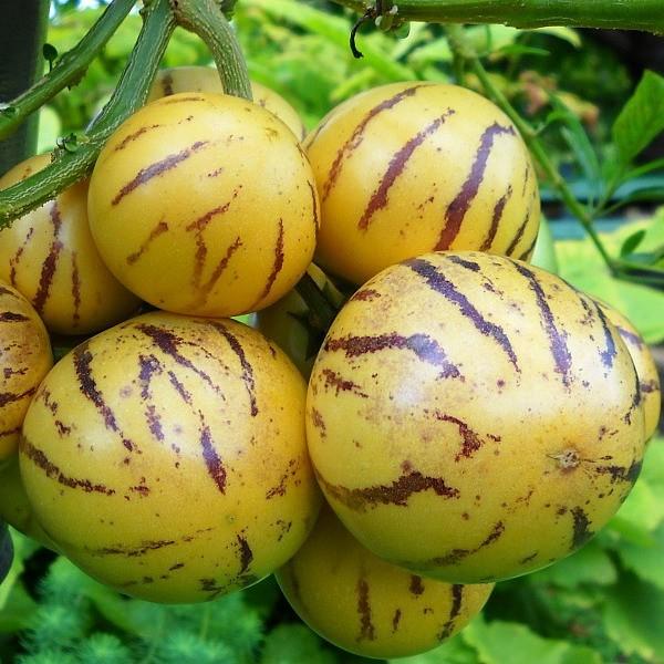 Пепино: выращивание в домашних условиях из семян, уход 29