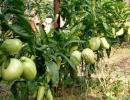 Плоды фрукта Пепино