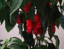 Перец Пепперони красный
