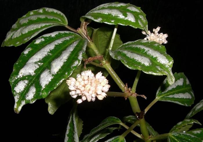 Цветок пилея кадье