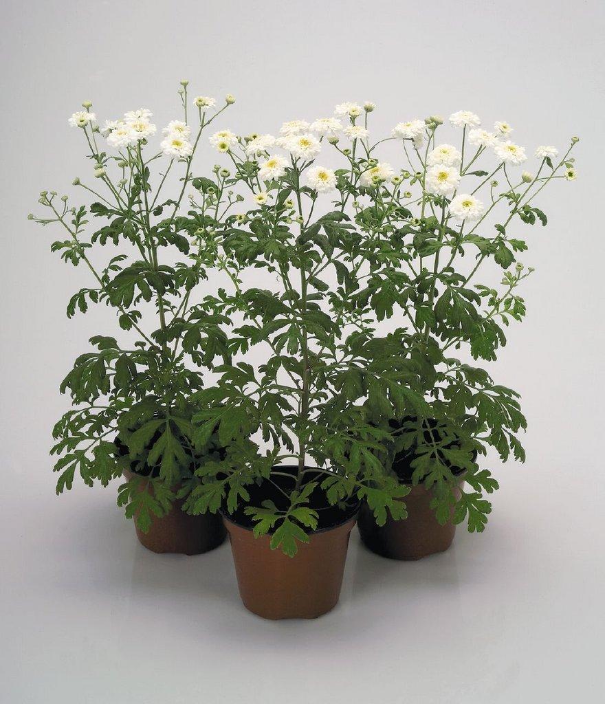 Пиретрум посадка и уход в открытом грунте Выращивание из семян Когда сажать Фото цветов
