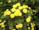 Желтый пиретрум