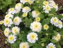 Кустик цветущего пиретрума