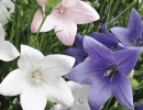 Цветки платикодона