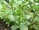 Портулак огородный (овощной, лекарственный)