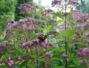 Бабочка на цветке посконника