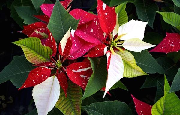 Цветок который цветет в новый год