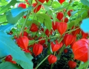 Красный физалис