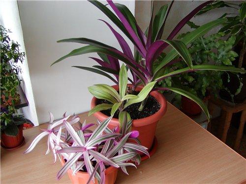 Рео цветок уход в домашних условиях
