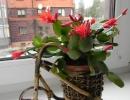Фото цветка. Рипсалидопсис