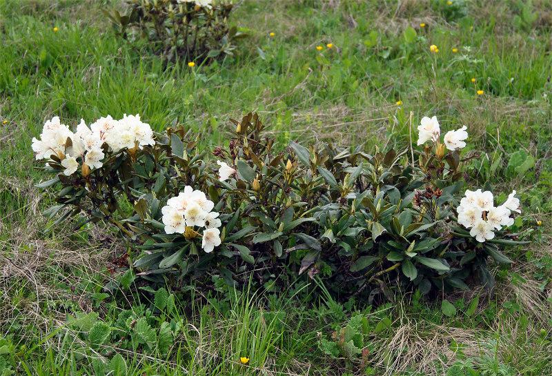 Выращивание в домашних условиях рододендрон 95