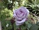 Роза Блю Мун