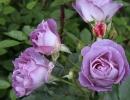 Розы Блю Мун