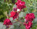 Роза Дон Жуан