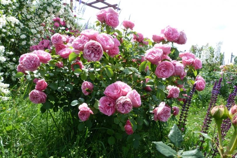 Розы: лучшие сорта в российских садах. Текст и фото от компании procvetok. Ru. Роза сорта «леонардо да винчи». Розы, обильно и долго цветущие в саду, мечта каждого садовода. В бесчисленном множестве сортов роз садоводу порой бывает сложно выбрать именно те конкретные сорта, которые.