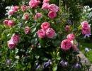 Фото. Розы Леонардо да Винчи