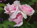 Фото. Роза мартин фробишер