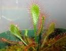 Фото. Хищное растение росянка