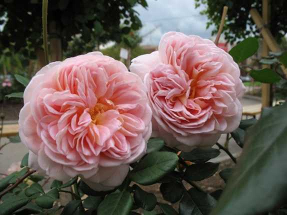 роза абрахам дерби фото и описание
