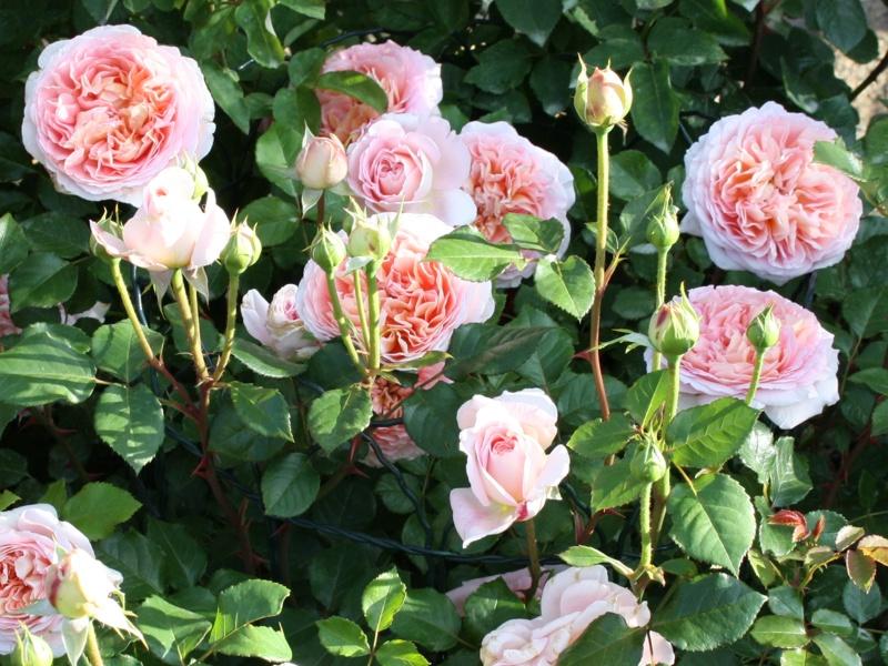 Посадка роз весной: когда и как сажать розы?