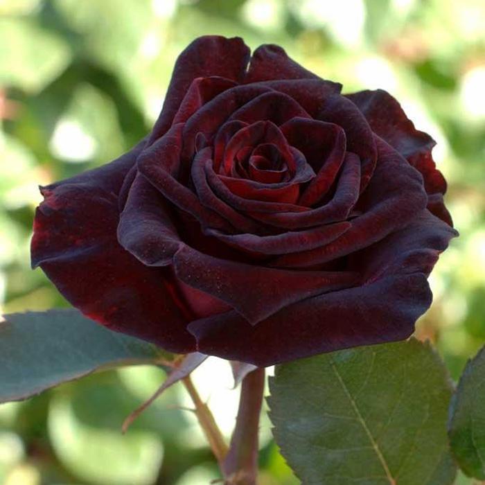 Блэк баккара роза фото