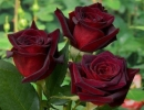 Розы Блэк Баккара