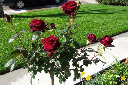 Чёрная магия сорт розы