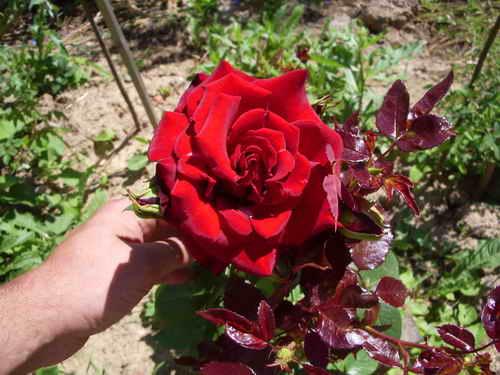 Черная магия сорт розы