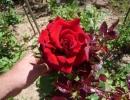 Фото. Роза черная магия