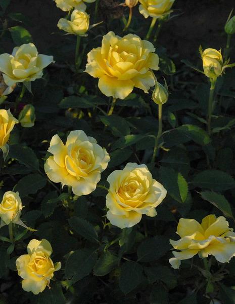 Роза медальон фото и описание