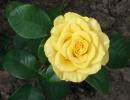 Роза Голден Медальон