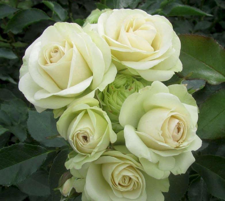 Вайт грин роза флорибунда