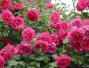 Роза парад плетистая
