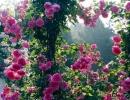 Фото. Плетистая роза Парад